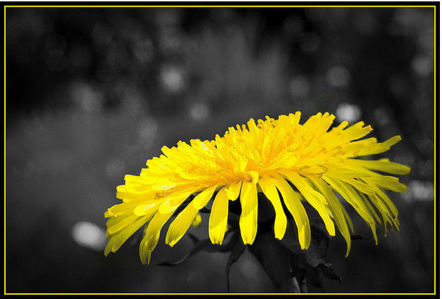 Black and white photograph and adding partial color effects dandelion taraxacum