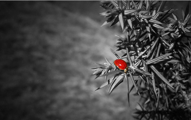 B and w shot coloring ladybug