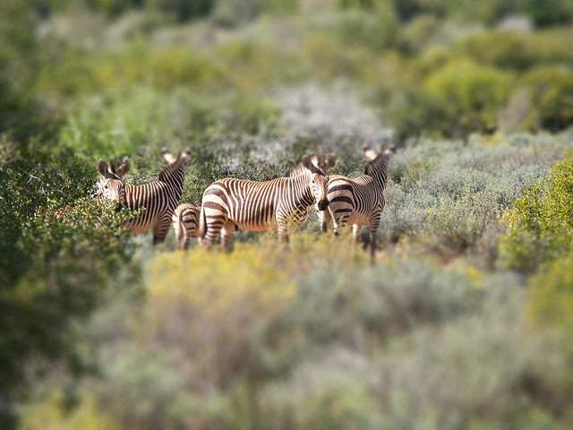 Tilt-Shift Zebra Stripe
