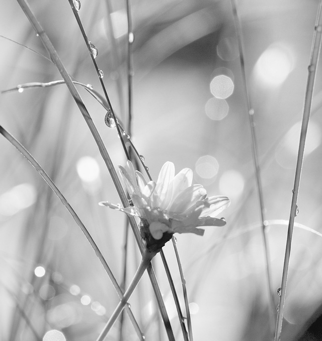 Daisy Drops is an example of Beautiful Bokeh Photography