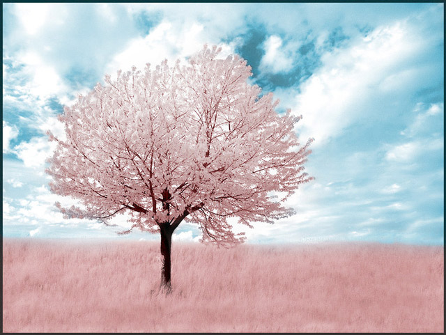 infrared photography Pink Tree