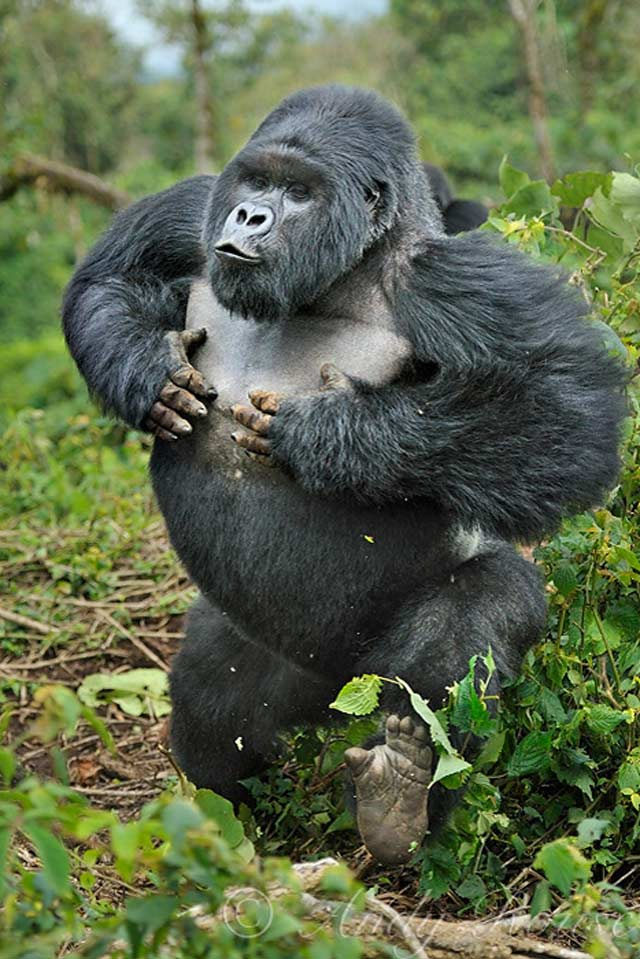 Silverback Charge