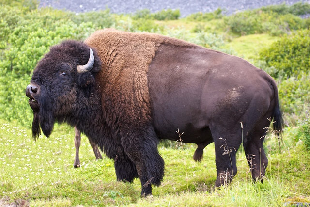 Saltery River Bison