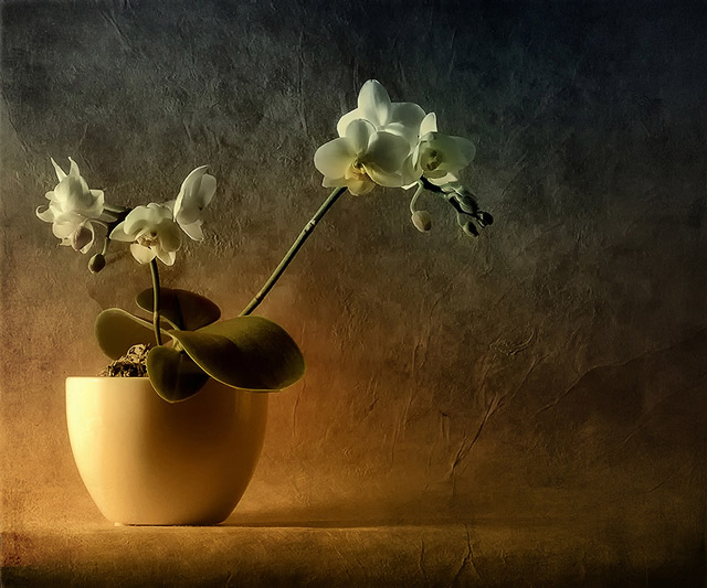 Mini Phalaenopsis example of beautiful still life photography
