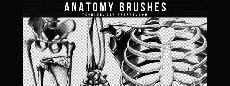Anatomy Photoshop Brushes designers freebies
