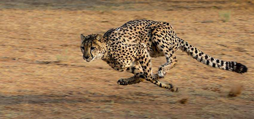 A racing cheetah.