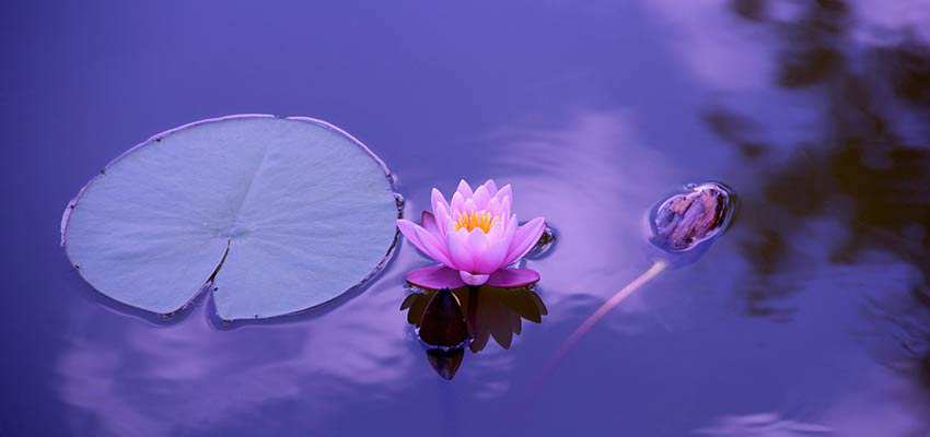 A lotus flower in a body of water.