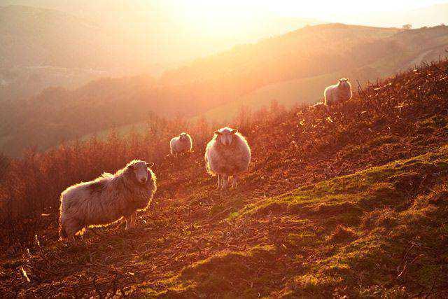 backlit photography photographer shot photo Backlit Sheep