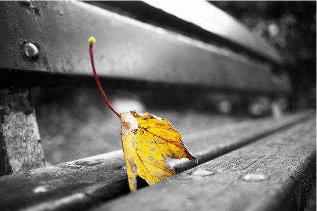 black and white photograph and adding partial color effects Herbstblatt - fallen leaves