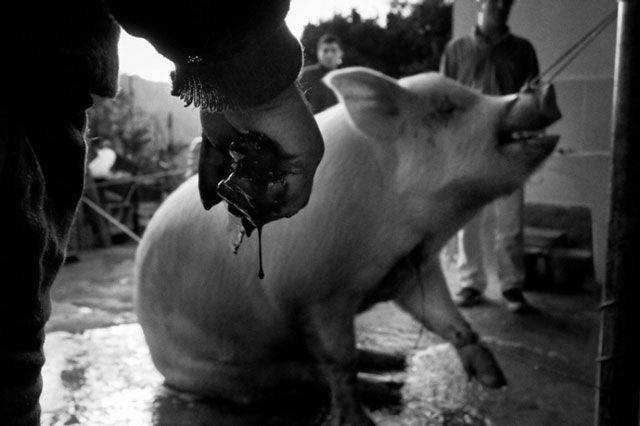 Slaughter Pig documentary photography