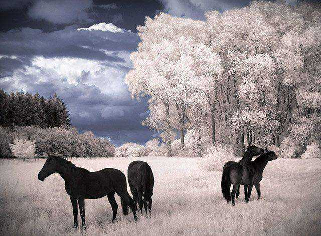 shot infrared Horses Dreams Infrared
