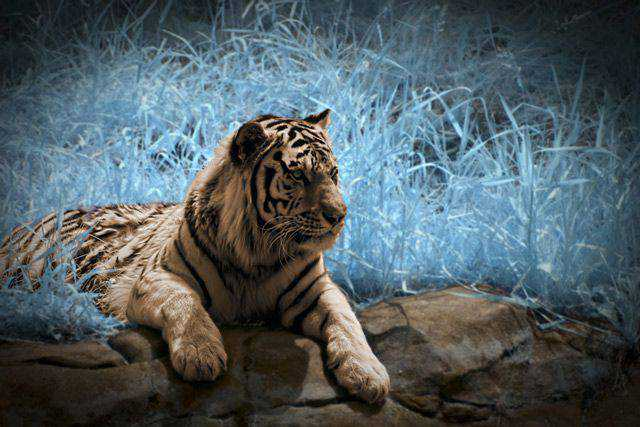 photography Tiger in Infrared