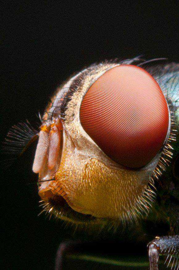 Housefly photography super macro