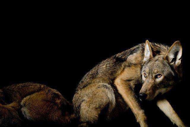 widlife photography nature A Red Wolf