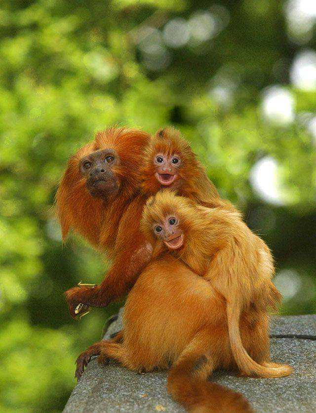 widlife photography nature Golden Lion Tamarins Ride