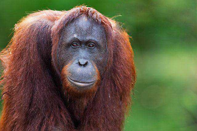 widlife photography nature Bornean Orangutan