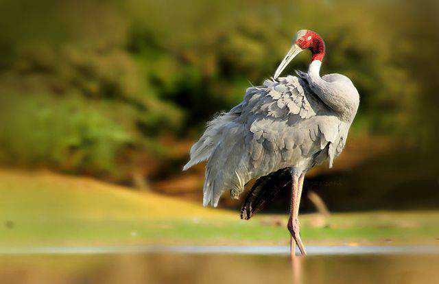 widlife photography nature Sarus Crane