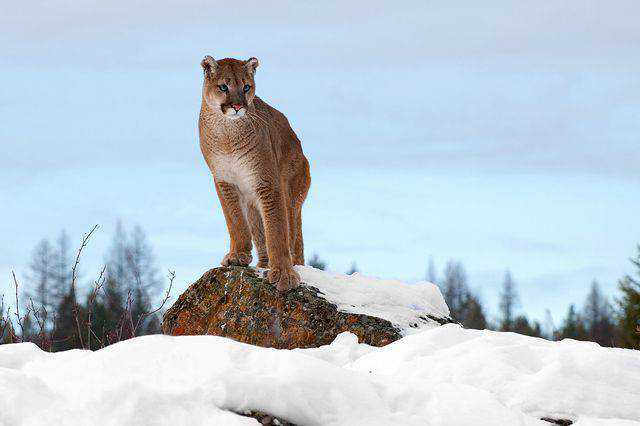 widlife photography nature Mountain Lion