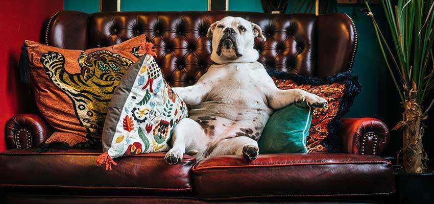 A dog sitting upright on a sofa.