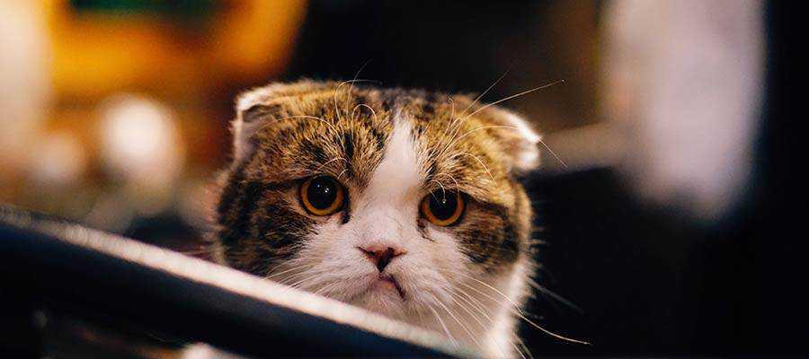 A sad-looking cat.
