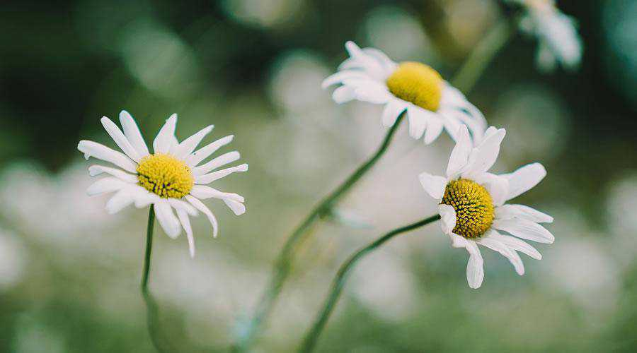 Daisy Flowers lights bokeh photography inspiration