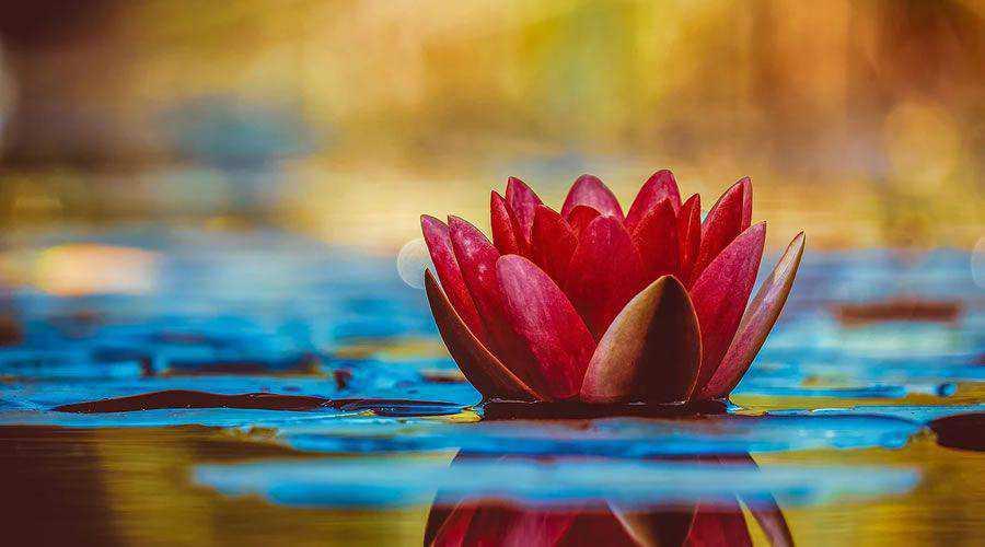 Water Lily Aquatic Plant Flower desktop wallpaper hd 4k high-resolution