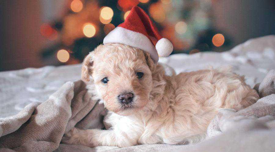 Cute Puppy Wearing Santa Hat christmas hd wallpaper desktop high-resolution background