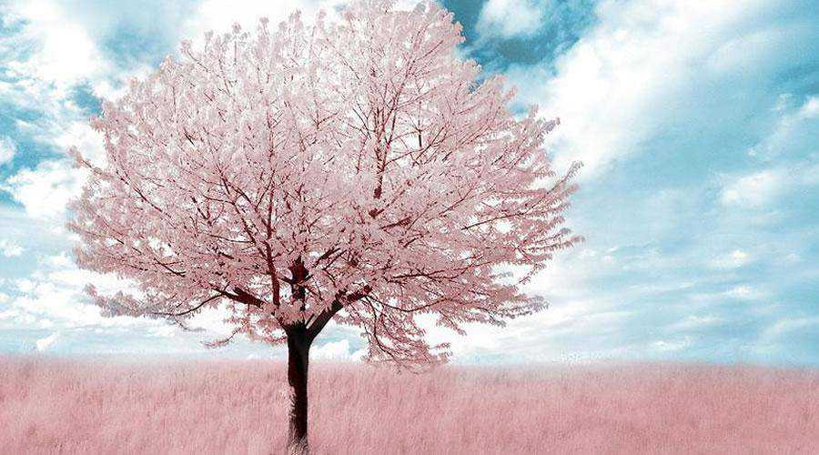 infrared photography Pink Tree inspiration