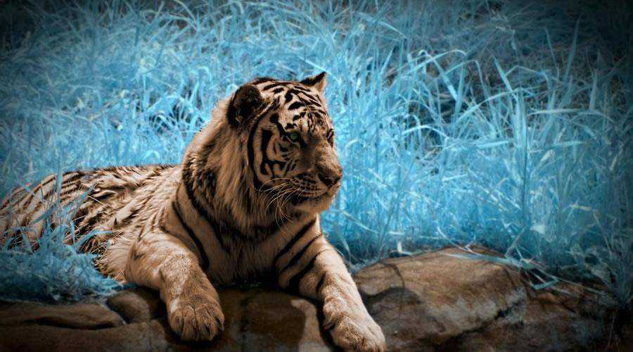 photography Tiger in Infrared inspiration