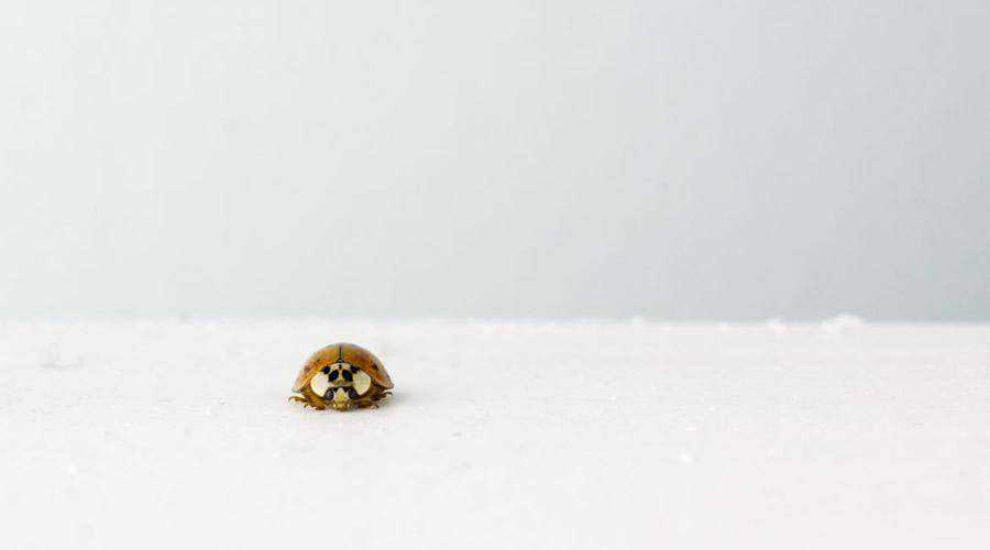 Small Isolated Ladybug minimal minimalistic desktop wallpaper hd 4k high-resolution