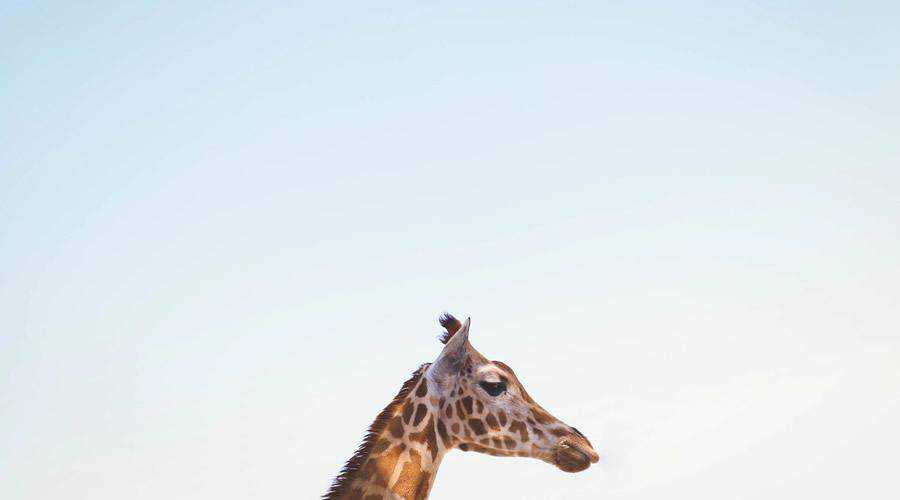 Giraffe Blue Sky minimal minimalistic desktop wallpaper hd 4k high-resolution