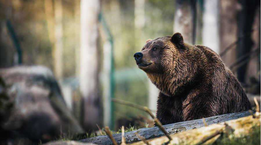 Close-up of Grizzly Bear photographer widlife photography inspirational