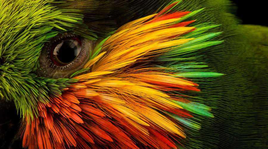 Fig Parrot photographer widlife photography inspirational