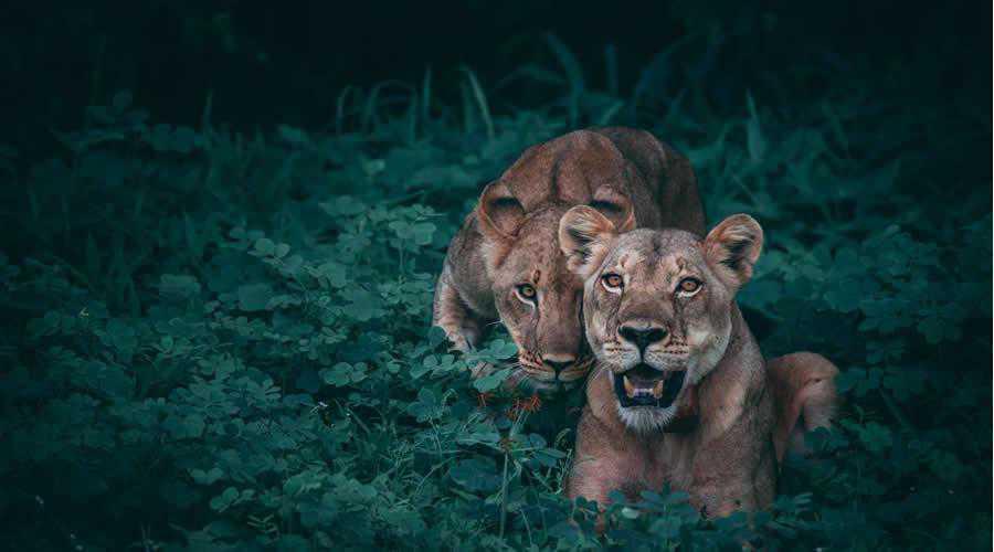 Mother Lion Cub photographer widlife photography inspirational