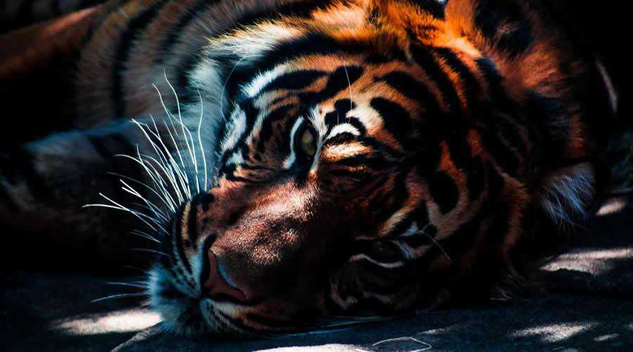 Tiger Laying Down photographer widlife photography inspirational