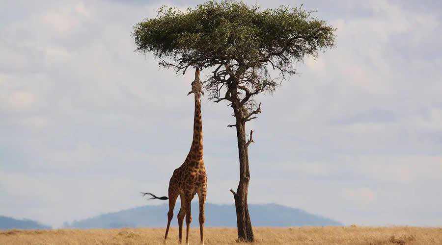 Giraffe Eating in Kenya photographer widlife photography inspirational