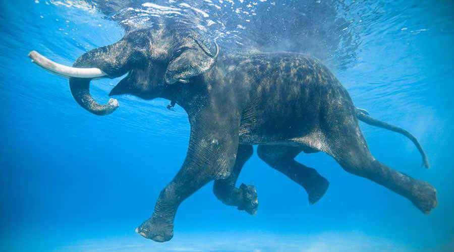 Swiming Elephant photographer widlife photography inspirational