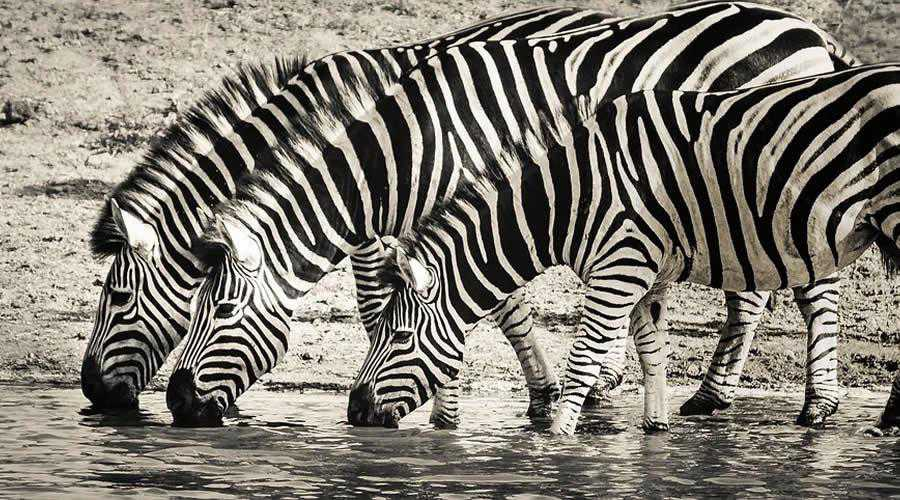 Zebras Drinking From River photographer widlife photography inspirational