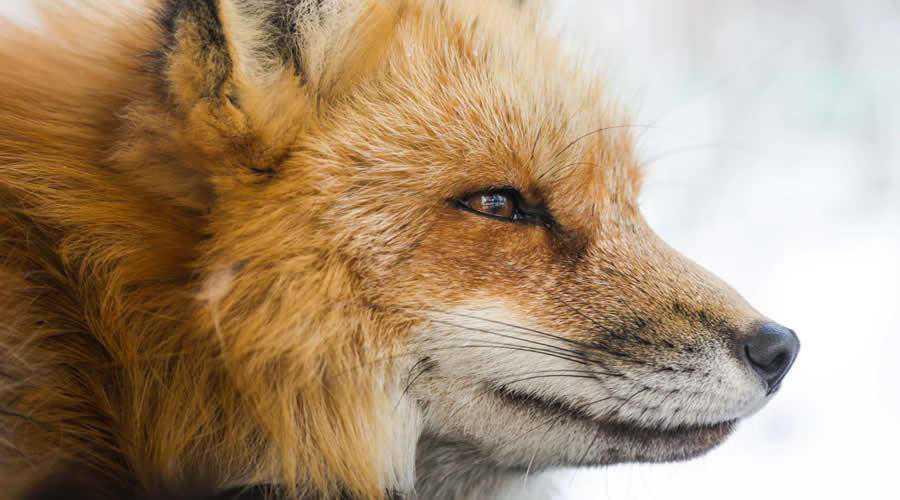 Fox in Japan photographer widlife photography inspirational