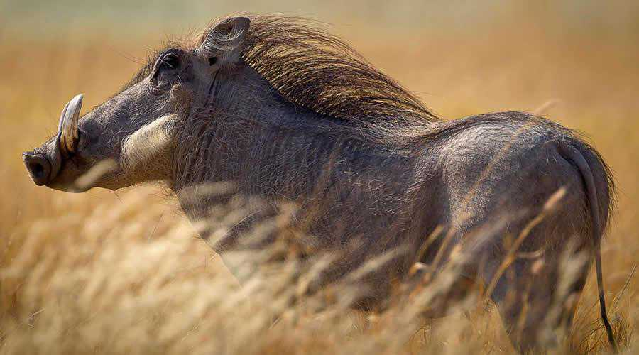 Warthog Blowing in the Wind photographer widlife photography inspirational