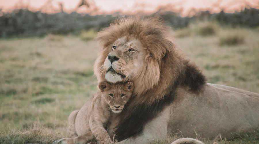 Male Lion Cub photographer widlife photography inspirational