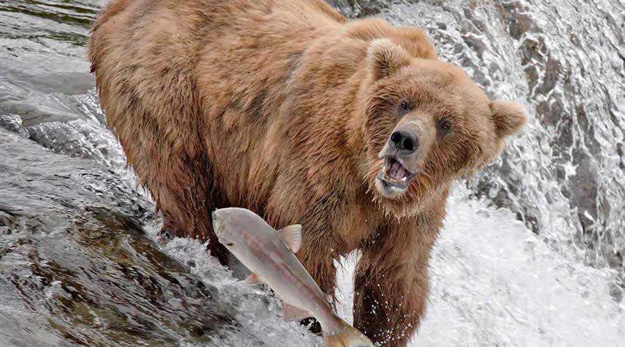 Bear Catching Fish in Alaska photographer widlife photography inspirational