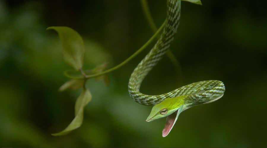 Green Vine Snake photographer widlife photography inspirational